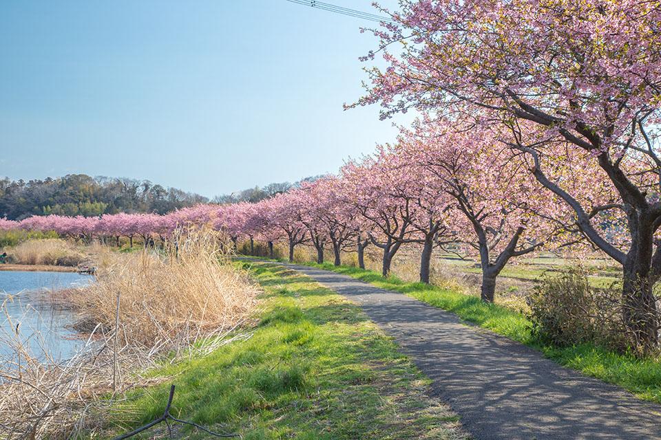 八千代市の河津桜の画像