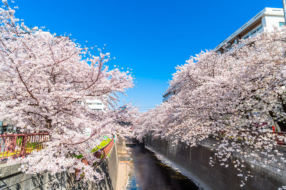 目黒川の桜並木画像