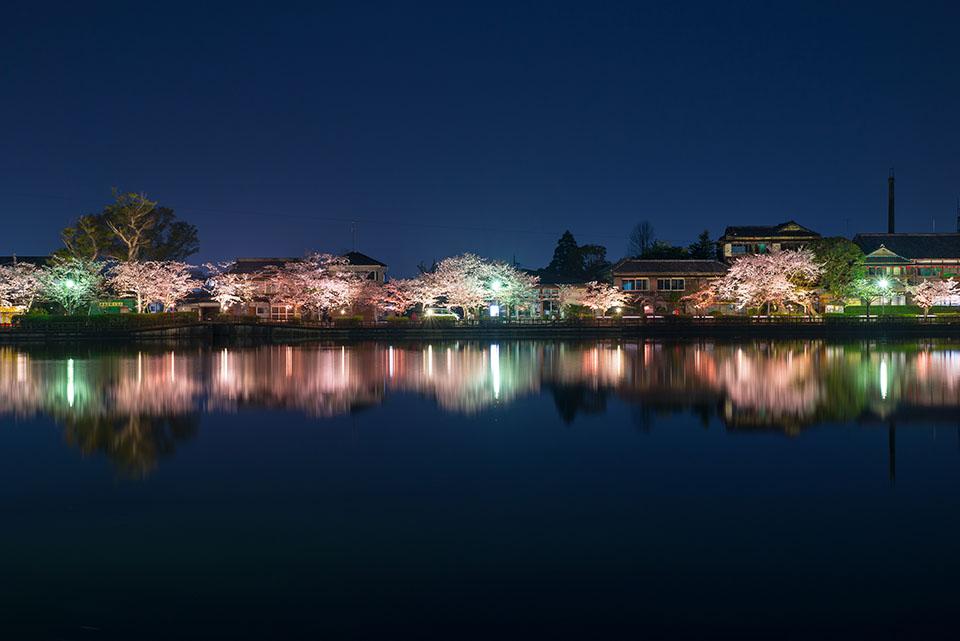 東金市にある八鶴湖の夜桜画像